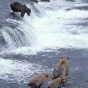 Alaskan brown bear (Ursus middendorffi) sow and cubs fishing for salmon at Brooks Falls on the Brooks River, Alaska.