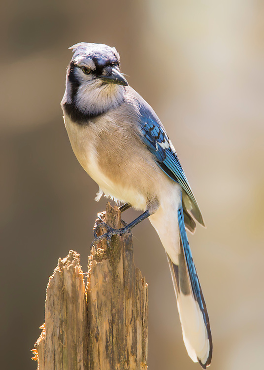A Blue Jay Visitor Posted On An Old Tree Stump
