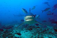 Silvertip Reef Shark Approaching