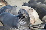 young male northern elephant seals, Mirounga angustirostris, on the beach for their annual molt, Piedras Blancas, near San Simeon, California, United States ( Eastern Pacific Ocean )