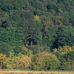 Kent, CT. Canada Geese, Branta canadensis, feed in a field of corn near the Housatonic River in the Litchfield Hills of western Connecticut.