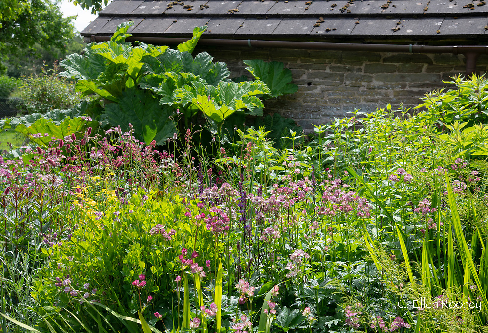 A border of Astrantia, Salvia and Sanguisorba menziesii next to an old stone barn at Stockton Bury Gardens, Leominster, Herefordshire, UK