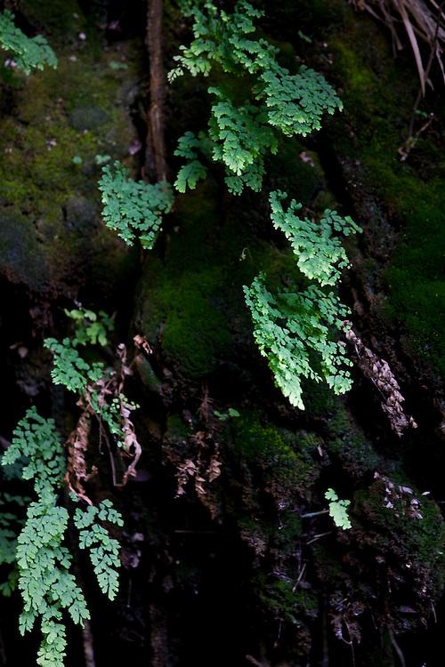 Santana do Riacho_MG, Brasil...Detalhe das Avencas (Adiantum Capillus-Veneris L.) na Lapa da Sucupira localizada no Parque Nacional da Serra do Cipo...The Maidenhair (Adiantum Capillus-Veneris L.) in Lapa da Sucupira at Serra do Cipo National Park...Foto: LEO DRUMOND / NITRO