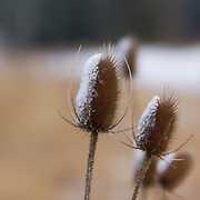 "Along the roadside in Loudoun County, Virginia, prickly dried Teasel plants collect ice and snow creating beautiful ""ice prickles."""