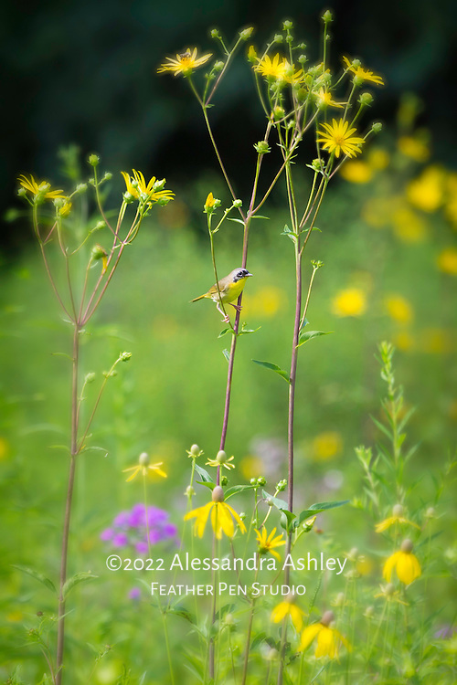 Common yellowthroat warbler perched among summer wildflowers in natural midwestern prairie setting, central Ohio.