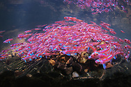 Rainbow Shiners<br /> <br /> Isaac Szabo/Engbretson Underwater Photography