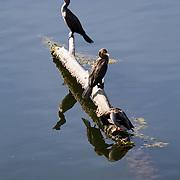Birds occupy a desolate branch in the lagoon adjacent to Malibu Beach.