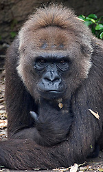 03 September 2005. New Orleans, Louisiana.  Post Hurricane Katrina.<br /> A gorilla peers nervously from his enclosure at the first humans to come and visit them since the storm hit.<br /> Photo Credit ©: Charlie Varley/varleypix.com