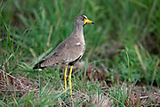 African Wattled Lapwing, Vanellus senegallus, at Rietflei Nature Reserve, South Africa