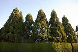 large cryptomeria trees along a hedge in East Hampton
