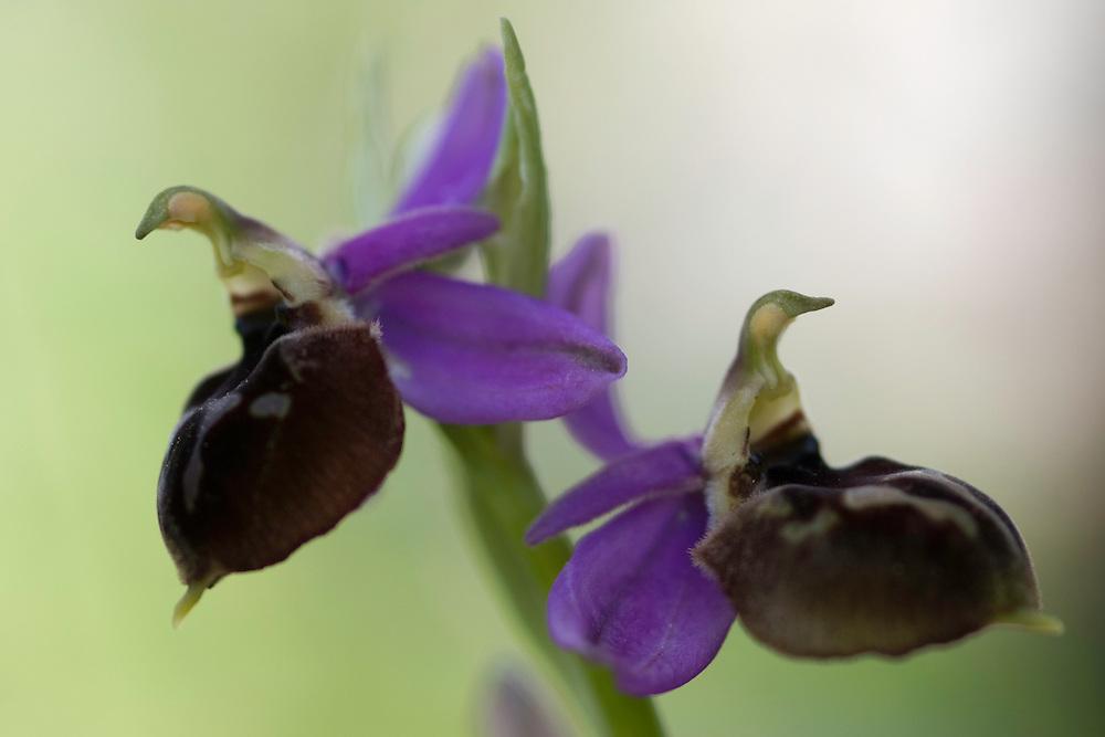 Apulia; Gargano National Park; Gargano Peninsula; Italy; Monte Sacro; Ophrys biscutella; Spectacle Ophrys