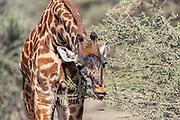 Giraffes in East African Habitat