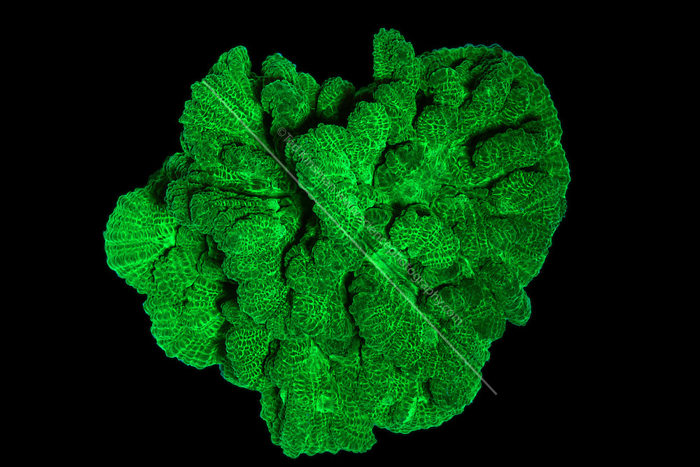 An image of Pectinia species coral in Long wave UV Light showing green Fluorescence.  This species of coral will glow brightly when illuminated in ultra-violet(UV) light.  Each head of coral is formed by a colony of genetically identical polyps which secrete a hard skeleton of calcium carbonate; this makes them important coral reef builders. This image is part of a series showing the identical specimen in white light and UV light.