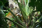 Common Squirrel Monkey (Saimiri sciureus) feeding on Philodendron fruit (Philodendron sp. Araceae)<br /> Yasuni National Park, Amazon Rainforest<br /> ECUADOR. South America<br /> HABITAT & RANGE: Tropical forests of Brazil, Columbia, Ecuador, French Guiana, Guyana, Peru, Suriname, Venezuela and Puerto Rico.
