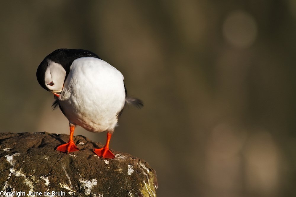 A puffin is cleaning is feathers at the most western tip of Iceland.
