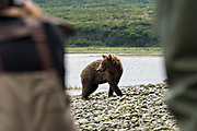 A brown bear sub-adult walks on the shore past human visitors in the lower lagoon at the McNeil River State Game Sanctuary on the Kenai Peninsula, Alaska. The remote site is accessed only with a special permit and is the world's largest seasonal population of brown bears in their natural environment.