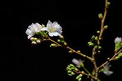 winterbloeiende kers, Prunus subhirtella autumnalis