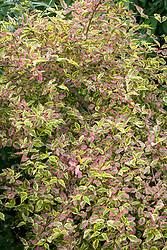 Cornus mas 'Aureoelegantissima'  - Cornelian cherry