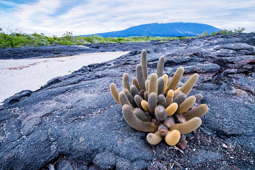 Lava Cactus (Brachycereus nesioticus) endemic pioneering species growing only on young lava flows, Fernandina Island, Galapagos, Ecuador.