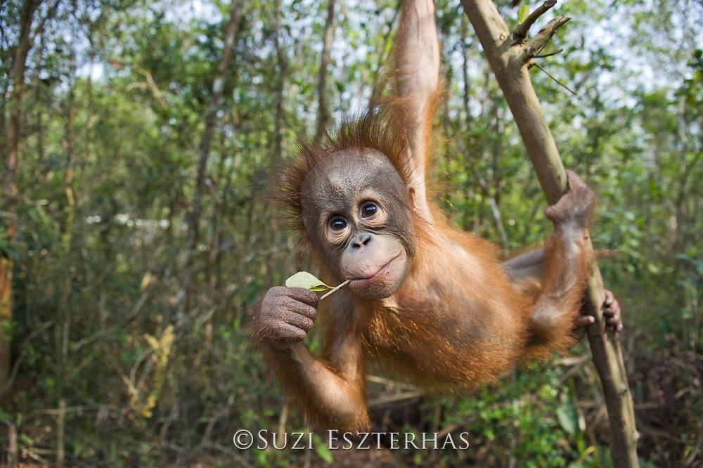 Bornean Orangutan<br /> Pongo pygmaeus<br /> Two year old infant(s) playing in tree<br /> Orangutan Foundation International's Orangutan Care Center, Borneo, Indonesia