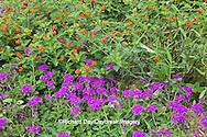 63821-19812 Flower garden with Homestead Purple Verbena (Verbena canadensis) & Red Spread Lantana (Lantana camara) Marion Co. IL