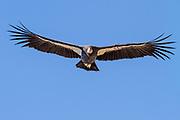 """California Condor #646 """"Kodama,"""" wings spread in flight along over Highway 1 on the Big Sur Coast, California"""
