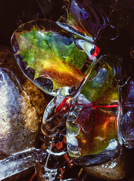 Oregon grape leaves encased in ice, January, Yakima River, Kittitas County, Washinton, USA