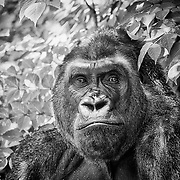 The perceptive and sensitive Western Lowland Gorilla.  This male lives in the Omaha's Henry Doorly Zoo.