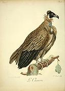 Le Chincou Bird of Prey from the Book Histoire naturelle des oiseaux d'Afrique [Natural History of birds of Africa] by Le Vaillant, François, 1753-1824; Publish in Paris by Chez J.J. Fuchs, libraire .1799