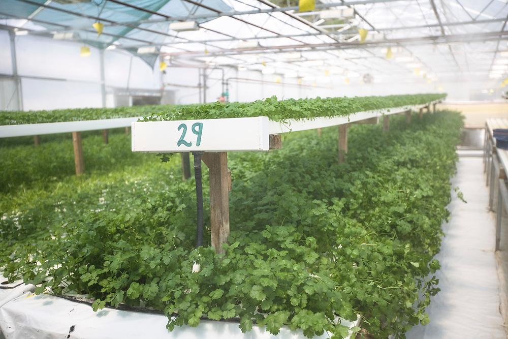 fresh coriander herb plants growing at hydroponic herb farm