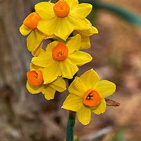 20180427-daffodil