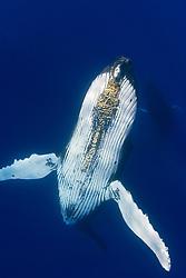 Humpback Whale, Megaptera novaeangliae, with parasitic acorn barnacles under chin, Cornula diaderma, Hawaii, Pacific Ocean