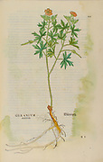 16th century, watercolor, hand painted woodcutting print of a Geranium plant from Leonhart Fuchs book of herbs: De Historia Stirpium Commentarii Insignes Published in Basel in 1542 The original manuscript this image is taken from shows signs of water damage