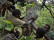 Collecting honey from a beehive of stingbees, by smoking the bees to pacify them. At the Hadza camp of Dedauko.