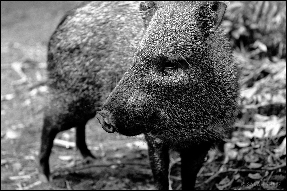 Wild Boar in the north pacific province of Guanacaste, Costa Rica