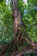 A lage strangler fig (Ficus sp.) parasiting a huge tree in the dipterocarp rainforest of Danum Valley, Sabah, Borneo.