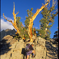 A hiker scrambles on a rock under a wind-twisted whitebark pine in Big Pine Canyon in California's Sierra Nevada.  Two Eagles Peak, part of the Palisade Crest, rises in the background.
