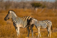Zebra, Etosha National Park, Namibia