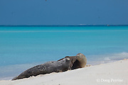 Hawaiian monk seals, Monachus schauinslandi, Critically Endangered endemic species, Sand Island, Midway, Atoll, Midway Atoll National Wildlife Refuge, Papahanaumokuakea Marine National Monument, Northwest Hawaiian Islands  ( Central North Pacific Ocean )