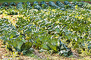 A cabbage field growing along the Quilt Trails in Burnsville, North Carolina. The quilt trails honor handmade quilt designs of the rural Appalachian region.