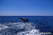 bottlenose dolphin, Tursiops truncatus (c-r)<br /> jump sequence (#3 of 3)<br /> Roatan, Honduras ( Caribbean Sea )