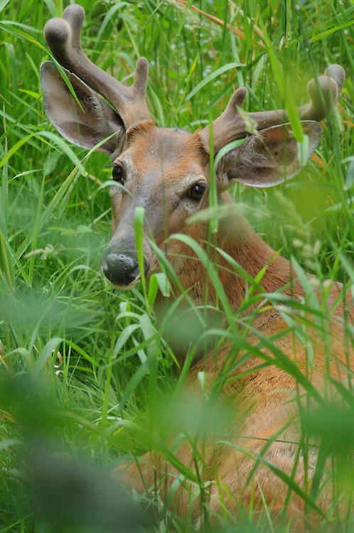 Deer buck laying in a creek bed. Antlers in velvet.