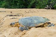 Hawksbill Sea Turtle Nesting
