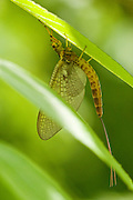 A newly hatched Mayfly rests on the underside of a leaf, Miller's Dale, Derbyshire Peak Dsitrict