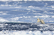 Polar bear cubs play in swimming hole on sea ice far north of Svalbard, Norway.