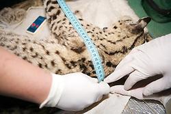 Measuring Geoffroy's Cat