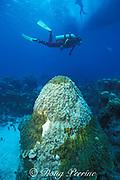 dying head of small star coral, <br /> Montastrea annularis, New Providence Island,<br /> Bahamas ( Western Atlantic Ocean )