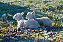 © Licensed to London News Pictures. 17/04/2016. Powys, Wales, UK. Ewes and lambs are seen on the high moorland of the Mynydd Epynt range near Builth Wells in Powys after a night with temperatures dropping below freezing. Photo credit: Graham M. Lawrence/LNP