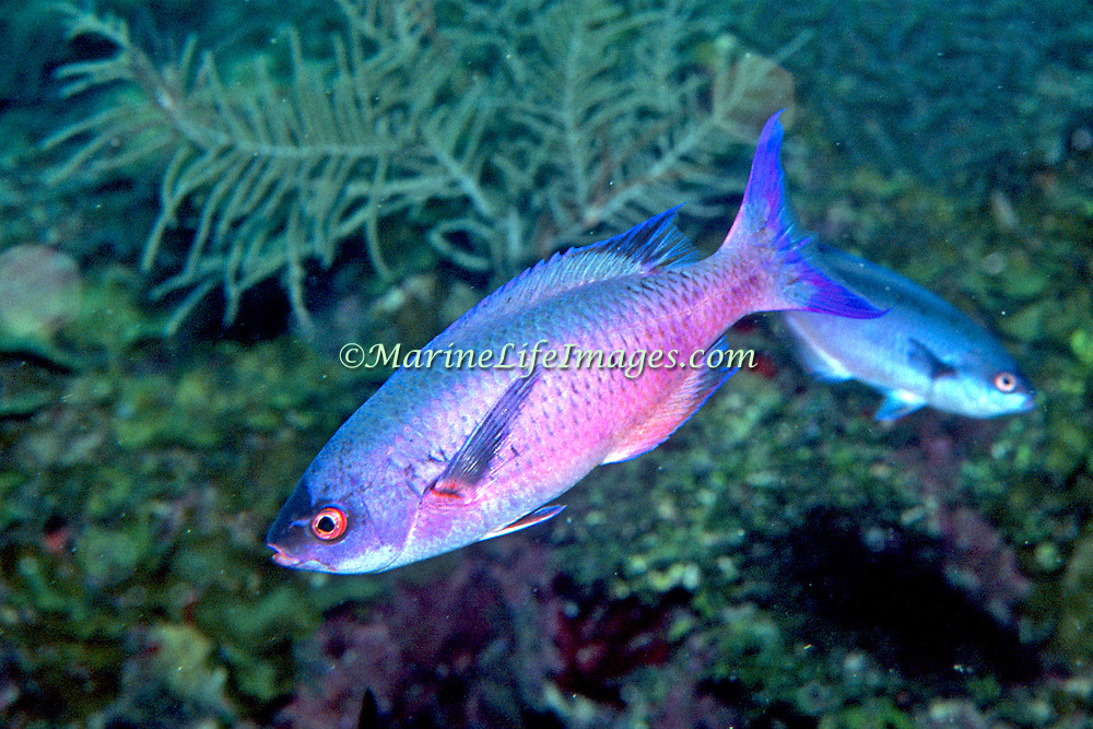Creol Wrasse commonly swim in groups in the open water above deep reefs and eapecially along the edge of walls and dropoffs in the Tropical West Atlantic; picture taken Roatan, Honduras.