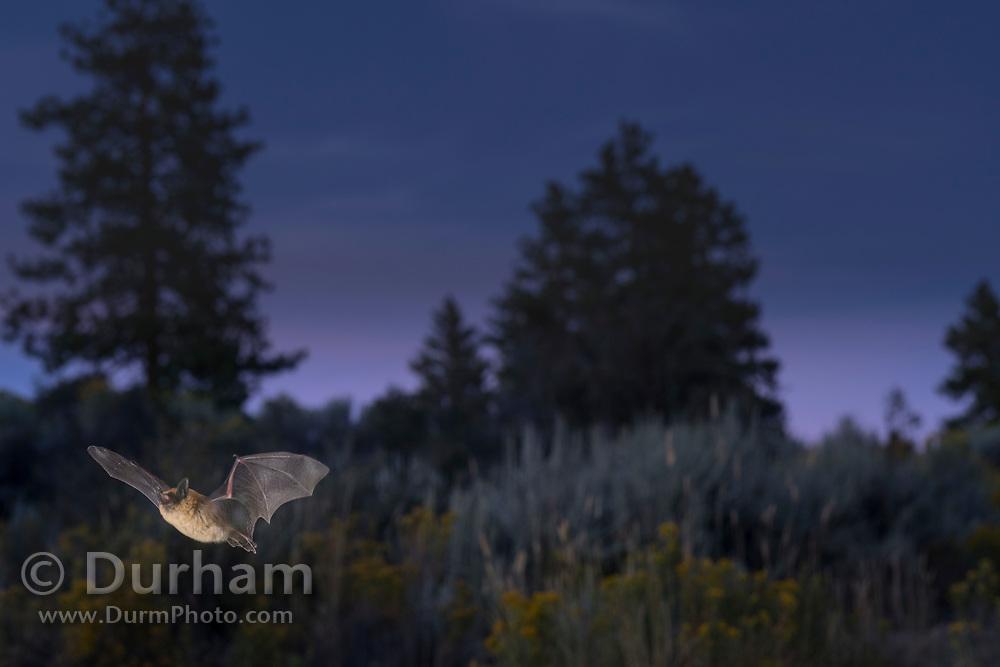 Bat flying at dusk in ponderosa forest in Central Oregon. © Michael Durham